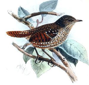Spotted elachura - Image: Spelaeornis formosus Keulemans