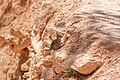 Spermophilus lateralis, Bryce Canyon National Park, USA.jpg