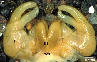 Gonopod - Sphaeromimus vatovavy posterior telopods