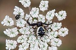 Une thomise globuleuse, attendant sa proie, sur une fleur de carotte. Le motif noir sur son corps ressemble à un buste de Napoléon Ier, d'où son autre nom d'«araignée Napoléon»