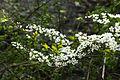 Spiraea prunifolia var. simpliciflora 2014년 4월 9일 (13768088463).jpg