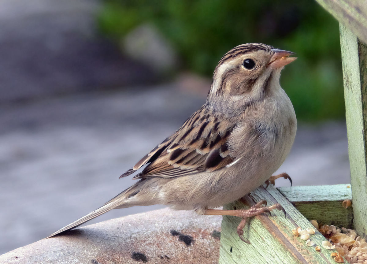 clay colored sparrow wikipedia