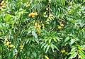 Spondias mombin (Leaves and fruits).jpg