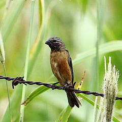 Sporophila ruficollis - Dark-throated Seedeater (male).JPG