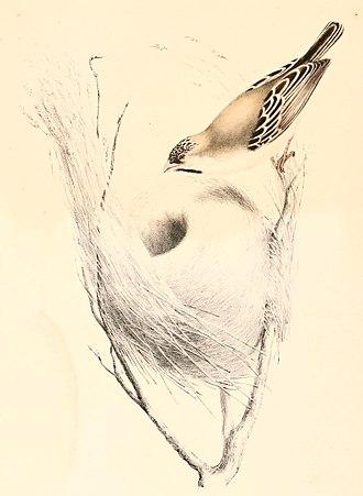 Ploceidae - Image: Sporopipes squamifrons 1838