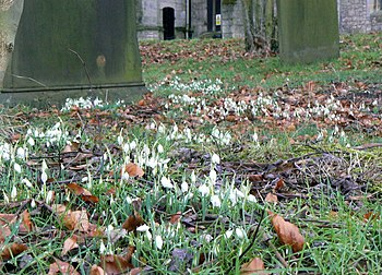 English: Spring is on its way Snowdrops in Hat...