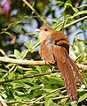 Squirrel Cuckoo (Piaya cayana) (48329749482).jpg