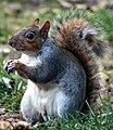 Squirrel in Hyde Park.jpg