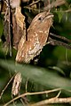 Sri Lanka Frogmouth (Batrachostomus moniliger) (5800203550).jpg