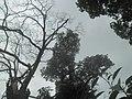 Stablo milo majmunima.jpg