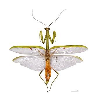 Stagmatoptera supplicaria - adult male Stagmatoptera supplicaria