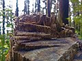 Stairs on a cross-section of a tree.jpg