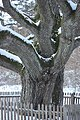 Stakai oak in the winter.jpg