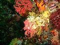 Starfish and Multicoloured sea fan at Sunfish Pinnacle P1299067.JPG