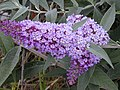 Starr-010717-0045-Buddleja davidii-flowers-Kula-Maui (24424737692).jpg