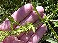 Starr-031108-0214-Dysphania ambrosioides-habit-Siesta Key Beach-Florida (24306926479).jpg