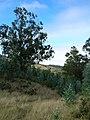 Starr-051123-5412-Eucalyptus globulus-habit-Haleakala Ranch-Maui (24849692225).jpg