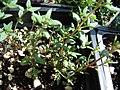 Starr-080117-2166-Thymus vulgaris-habit-Home Depot Nursery Kahului-Maui (24784610572).jpg