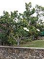 Starr-090421-6303-Magnolia grandiflora-flowering habit-Pukalani-Maui (24584819599).jpg