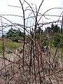 Starr-090521-8438-Rubus niveus-sprayed habit-Polipoli-Maui (24325918734).jpg