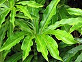 Starr-090618-1093-Costus speciosus-leaves-Hana Hwy-Maui (24939300186).jpg
