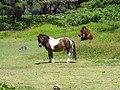 Starr-090702-2174-Tetrapanax papyrifer-infestation with miniature horses-Keanae-Maui (24337551674).jpg