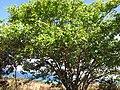 Starr-090714-2694-Pterocarpus indicus-habit-Napili-Maui (24674079370).jpg