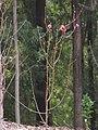 Starr-110222-1660-Prunus persica var persica-Red Baron flowering habit-Olinda-Maui (24709031979).jpg