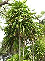 Starr-110307-2343-Dracaena fragrans-habit-Kula Botanical Garden-Maui (24782367480).jpg