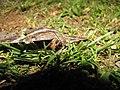 Starr-110309-3021-Paspalum conjugatum-habitat and black witch moth Ascalapha odorata-Olinda-Maui (24783556330).jpg