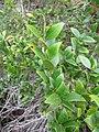 Starr-110331-4587-Myrtus communis-leaves-Shibuya Farm Kula-Maui (24714277319).jpg