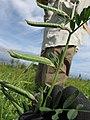 Starr-110405-4816-Vicia sativa subsp nigra-immature seedpods-Kula-Maui (25055978526).jpg