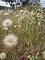 Starr-110405-4842-Hypochoeris radicata-seedheads-Kula-Maui (25056014016).jpg