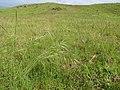 Starr-110502-5295-Bromus diandrus-seeding habit-Kula-Maui (25067858176).jpg