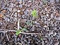 Starr-110524-5645-Vicia sativa subsp nigra-habit-Science City-Maui (24799971460).jpg