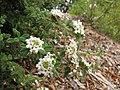 Starr-110621-6292-Lippia micromera-flowers-Hawea Pl Olinda-Maui (24466630144).jpg