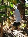 Starr-110627-6776-Musa x paradisiaca-Dwarf Brazilian habit with Brent conducting little fire ant Wasmannia auropunctata survey-Waihee-Maui (25004105311).jpg