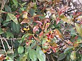 Starr-120403-4147-Myrtus communis-leaves with Puccinia psidii-Kula-Maui (25112176526).jpg