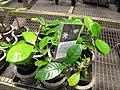 Starr-120522-6582-Gardenia taitensis-in pots-Iao Tropical Gardens of Maui-Maui (24776268539).jpg