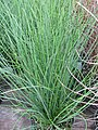 Starr-120613-9614-Juncus effusus-cv Spiralis or twisted arrow habit-Home Depot Nursery Kahului-Maui (25027215462).jpg