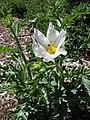 Starr-120627-7621-Argemone glauca-flowering habit-Hawea Pl Olinda-Maui (24558737133).jpg