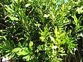 Starr-130114-1397-Macadamia integrifolia-leaves with yellowing-Paia-Maui (24573838004).jpg