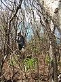 Starr-130321-3718-Thevetia peruviana-habit with Kim-Nr Albatross Hill Kilauea Pt NWR-Kauai (24582769483).jpg