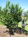 Starr-130809-2925-Prunus domestica-Cv Beauty with Dan-Kula-Maui (24629076274).jpg