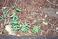 Starr-990105-2907-Passiflora tarminiana-seedlings-Kula-Maui (24157283829).jpg