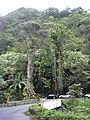 Starr 040209-0259 Epipremnum pinnatum.jpg