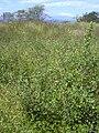 Starr 040324-0020 Macroptilium lathyroides.jpg