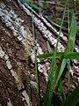 Starr 050115-3089 Setaria parviflora.jpg