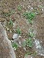 Starr 060228-8859 Tribulus cistoides.jpg