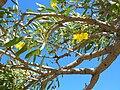 Starr 060703-8320 Tabebuia aurea.jpg